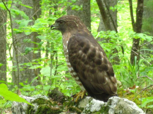 Broad-Winged-Hawk-1